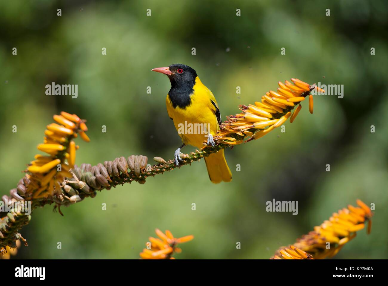 Blackheaded Oriole (Oriolus larvatus) on twig, Kruger National Park, Transvaal, South Africa. - Stock Image