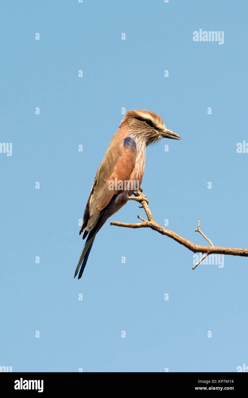 European Roller (Coracias garrulous) on twig, Kruger National Park, Transvaal, South Africa. - Stock Image