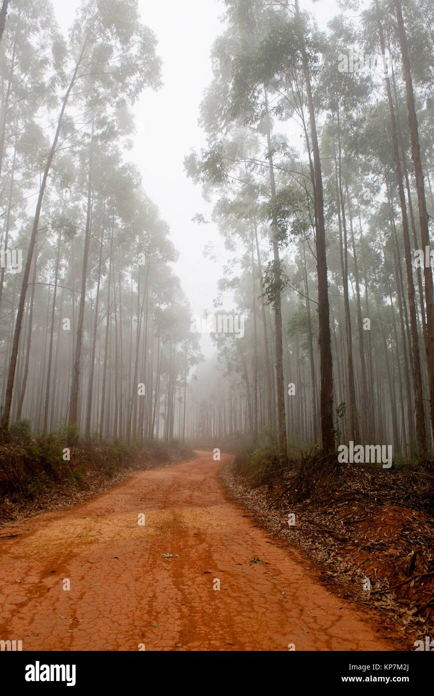 Road through Eucalyptus forest, Agatha, Tzaneen district, Limpopo province, South Africa. - Stock Image