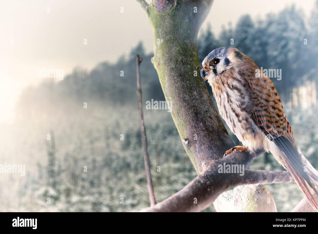 falke against snow forest winter scenery - Stock Image