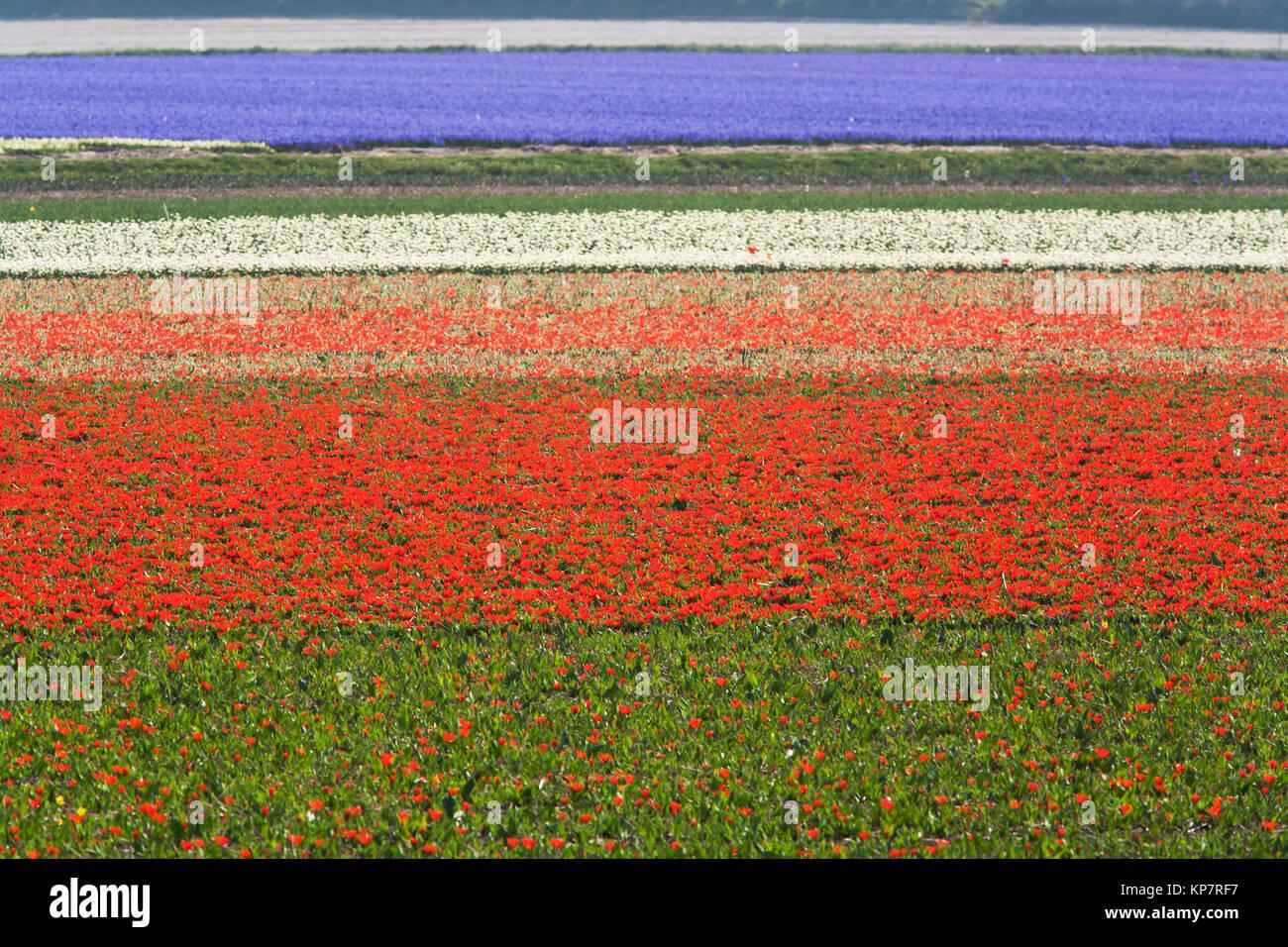 Flower fields - Stock Image