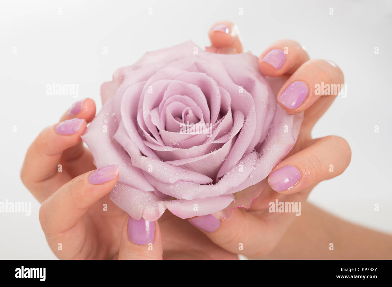 Hands with pastel lilac manicure holding a pale rose flower on neutral background - Stock Image
