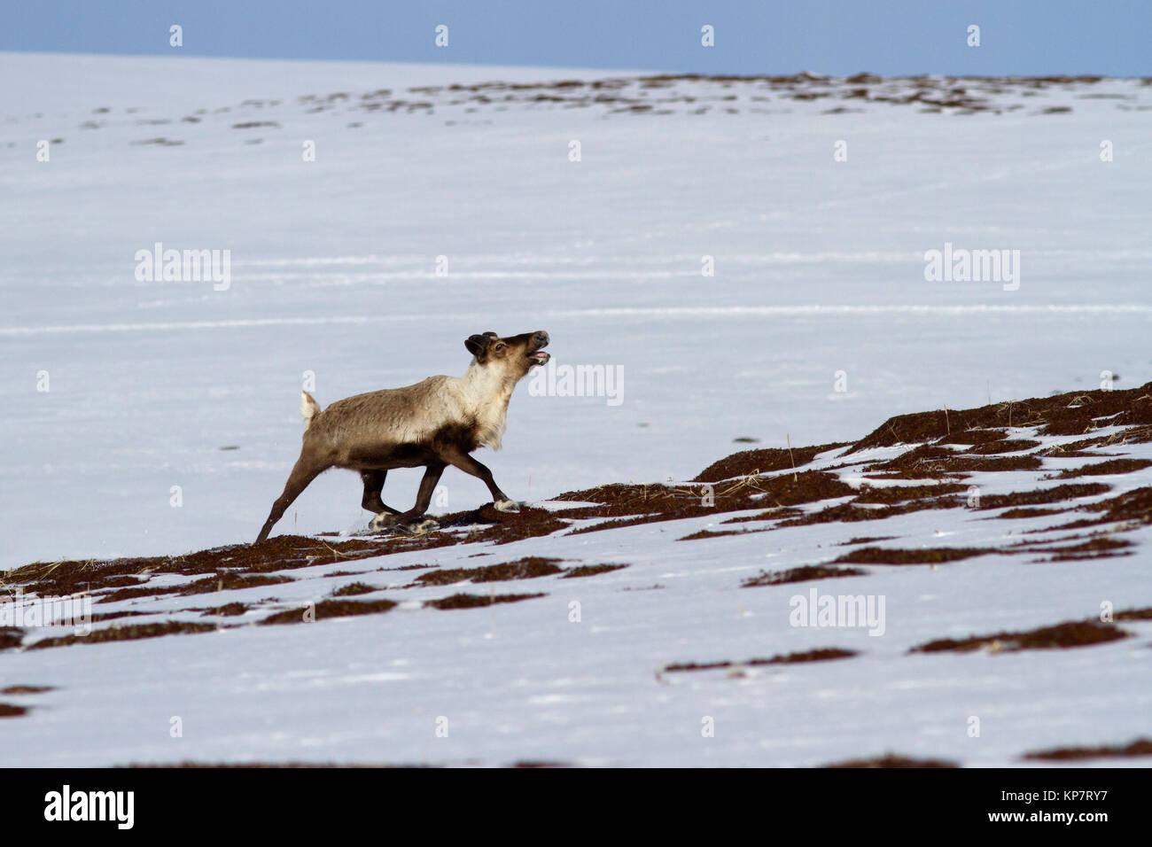reindeer running along the slope of the hills in the tundra on a springy overcast day - Stock Image