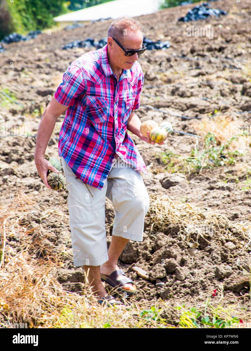A caucasian older retired senior in his 60´s, 70´s in a cantaloupe farm picking the fruits. Stock Photo