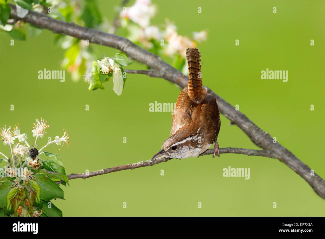 Carolina Wren On Branch Showing Long Tail and Sharp Beak - Stock Image