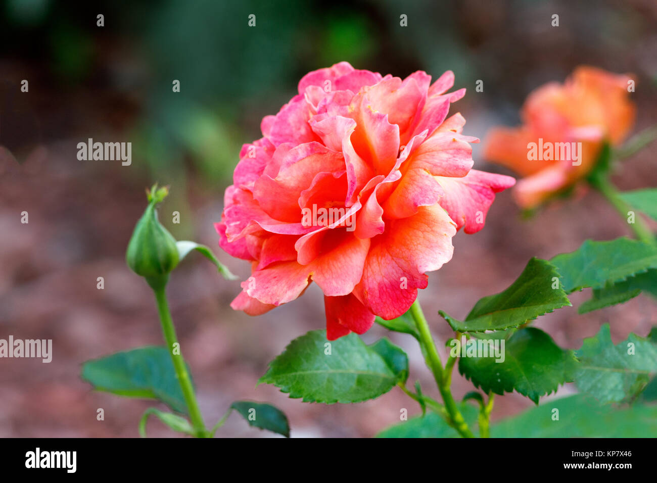 Salmon Color Rose Stock Photos & Salmon Color Rose Stock Images - Alamy