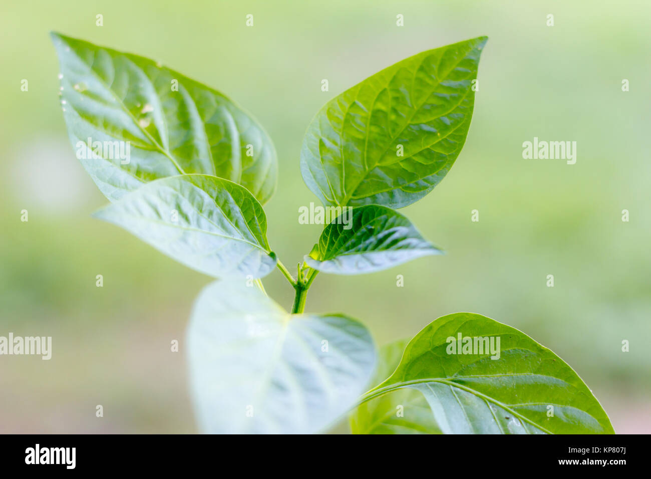 close up new leaf of chilli - Stock Image