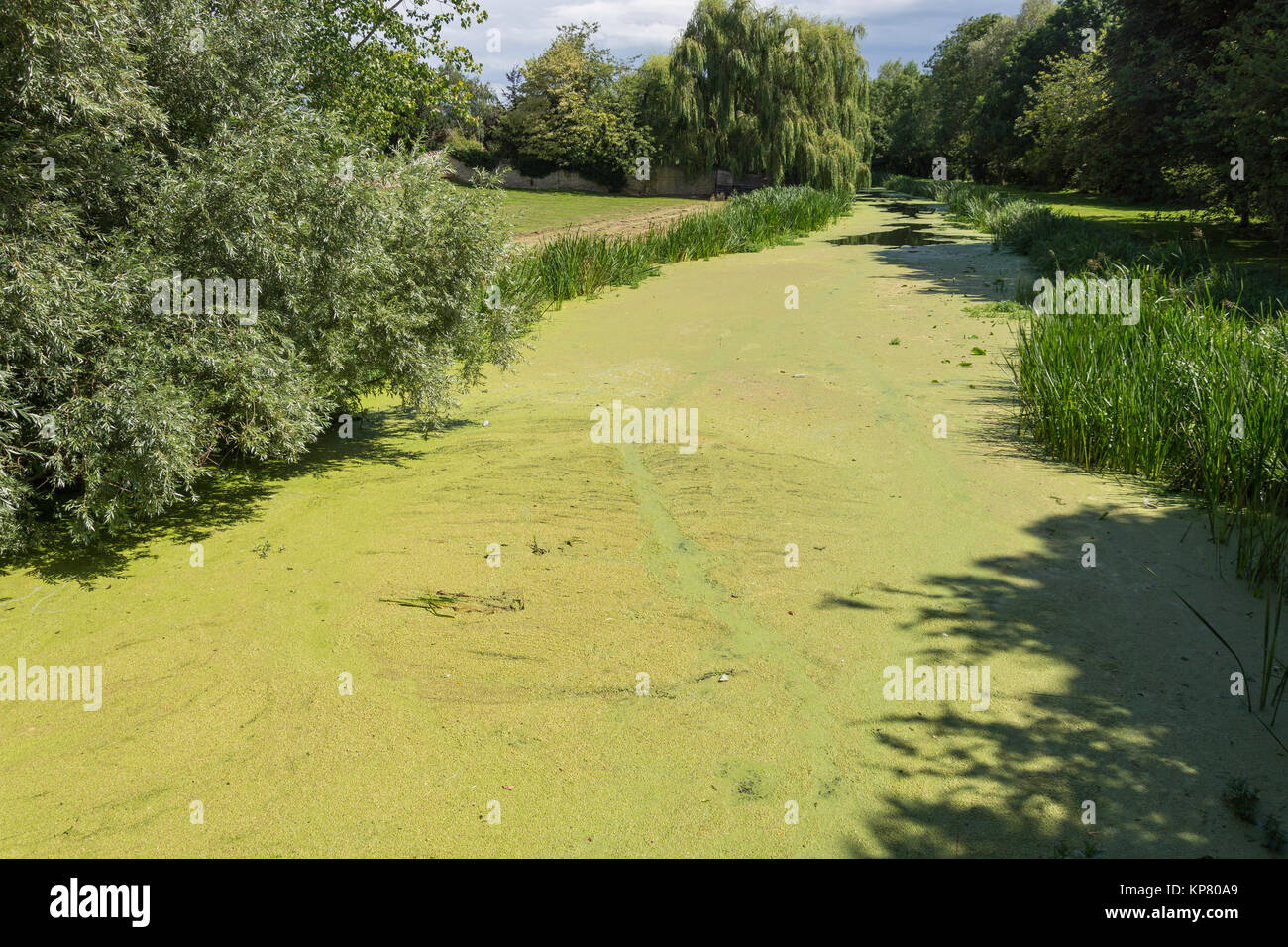Blue-green algea covering River Great Ouse, Bridge Street, Olney, Buckinghamshire, England, United Kingdom - Stock Image