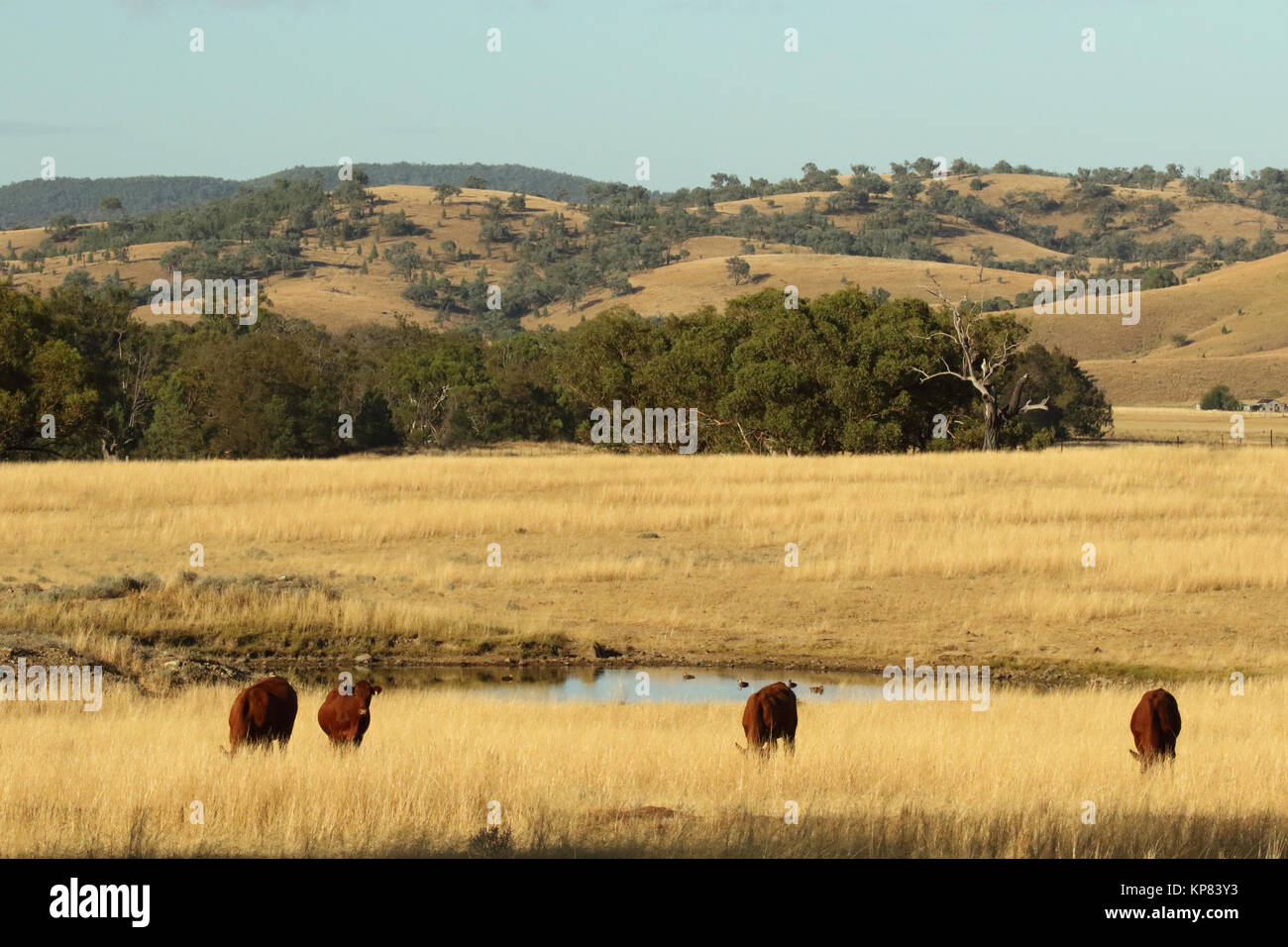 Cattle grazing near a watering hole in Sundown National Park. - Stock Image