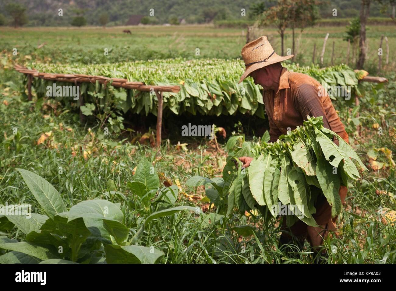 Farmer picking tobacco leaves in the valley, Vinales, Pinar del Rio Province, Cuba, Central America - Stock Image