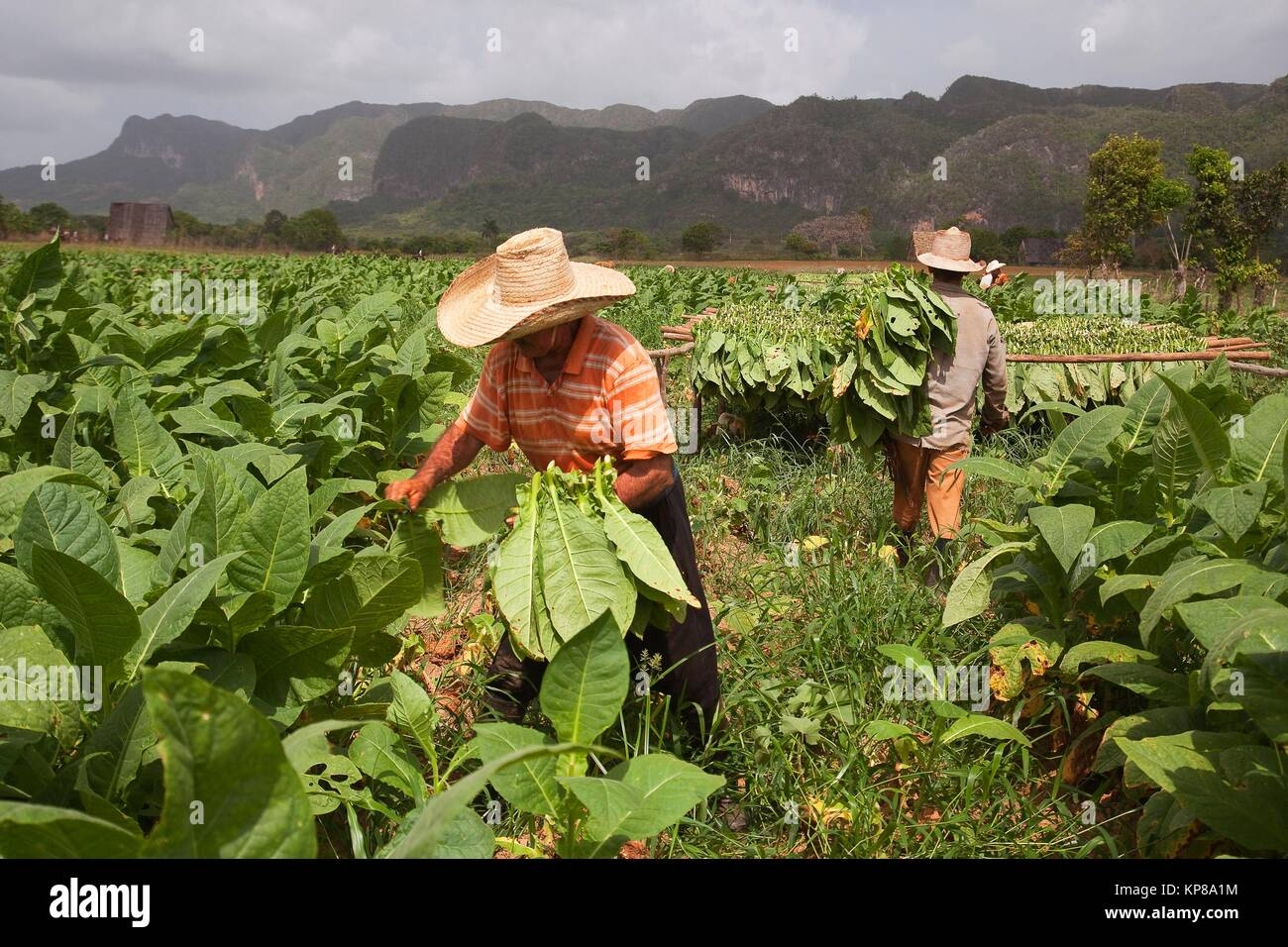 Farmers picking tobacco leaves in the valley, Vinales, Pinar del Rio Province, Cuba, Central America - Stock Image
