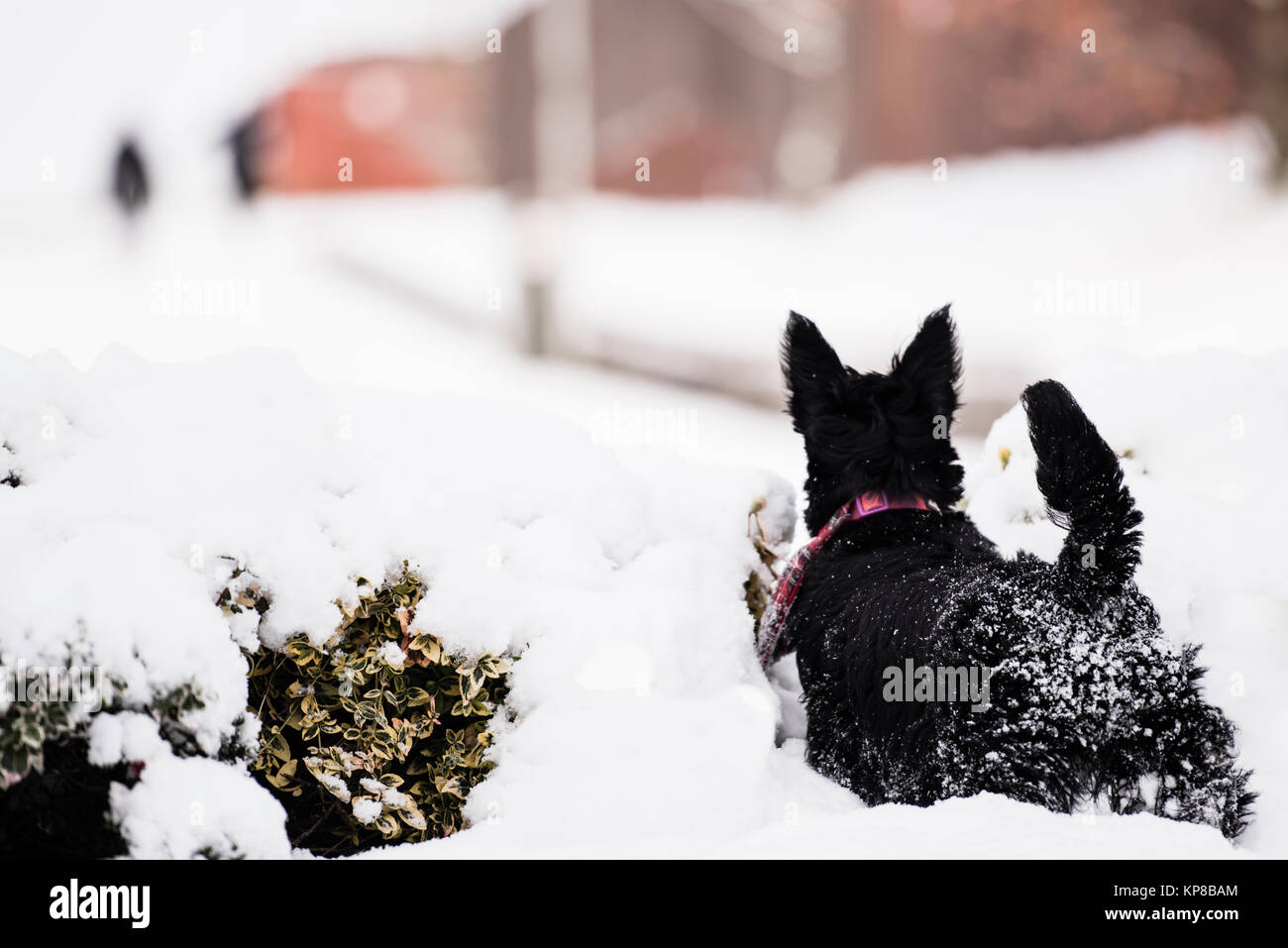 Young Scottish terrier dog enjoying her first experience of the snow. - Stock Image