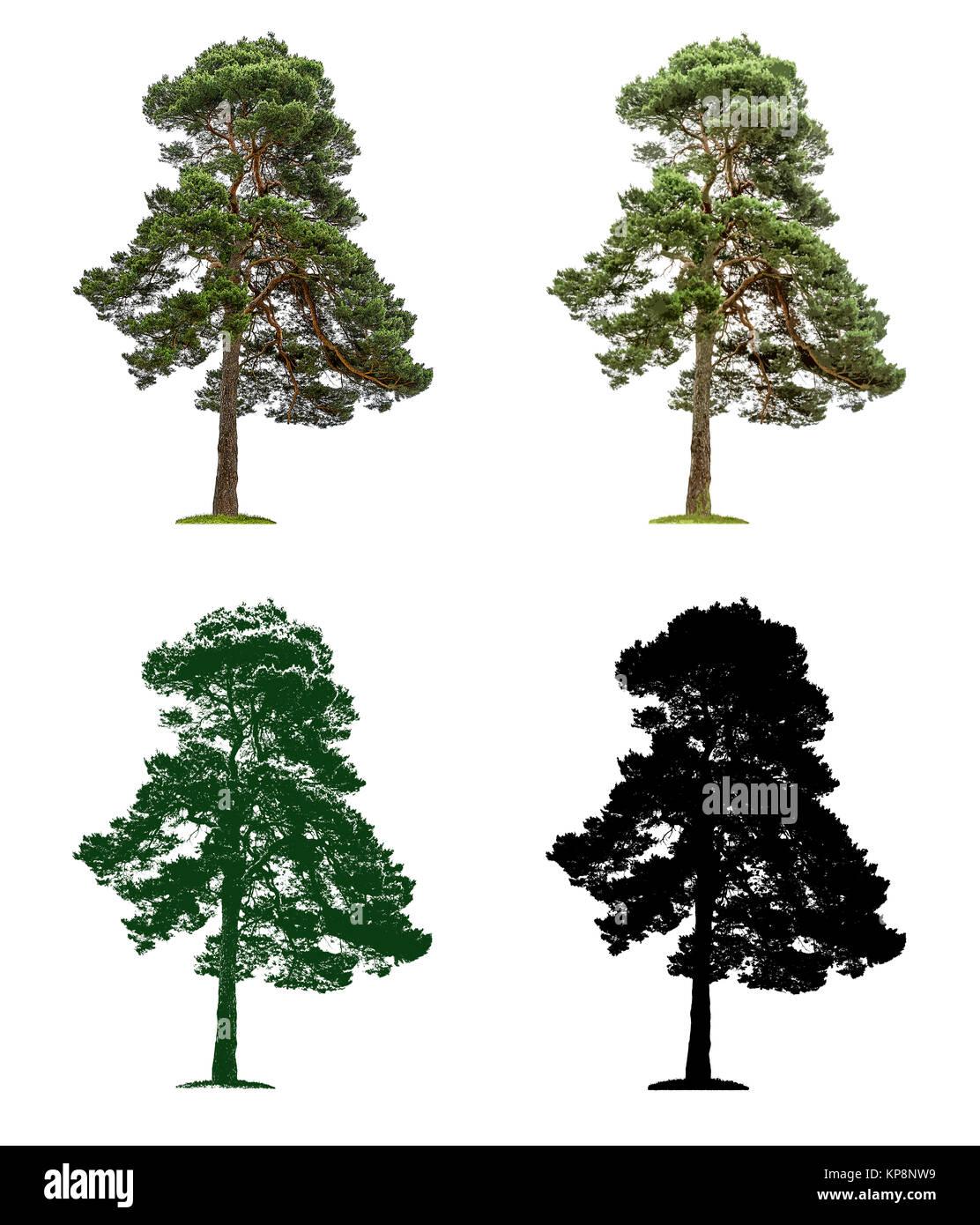 Baum in vier unterschiedlichen Illustrationstechniken -Alte Kiefer Stock Photo