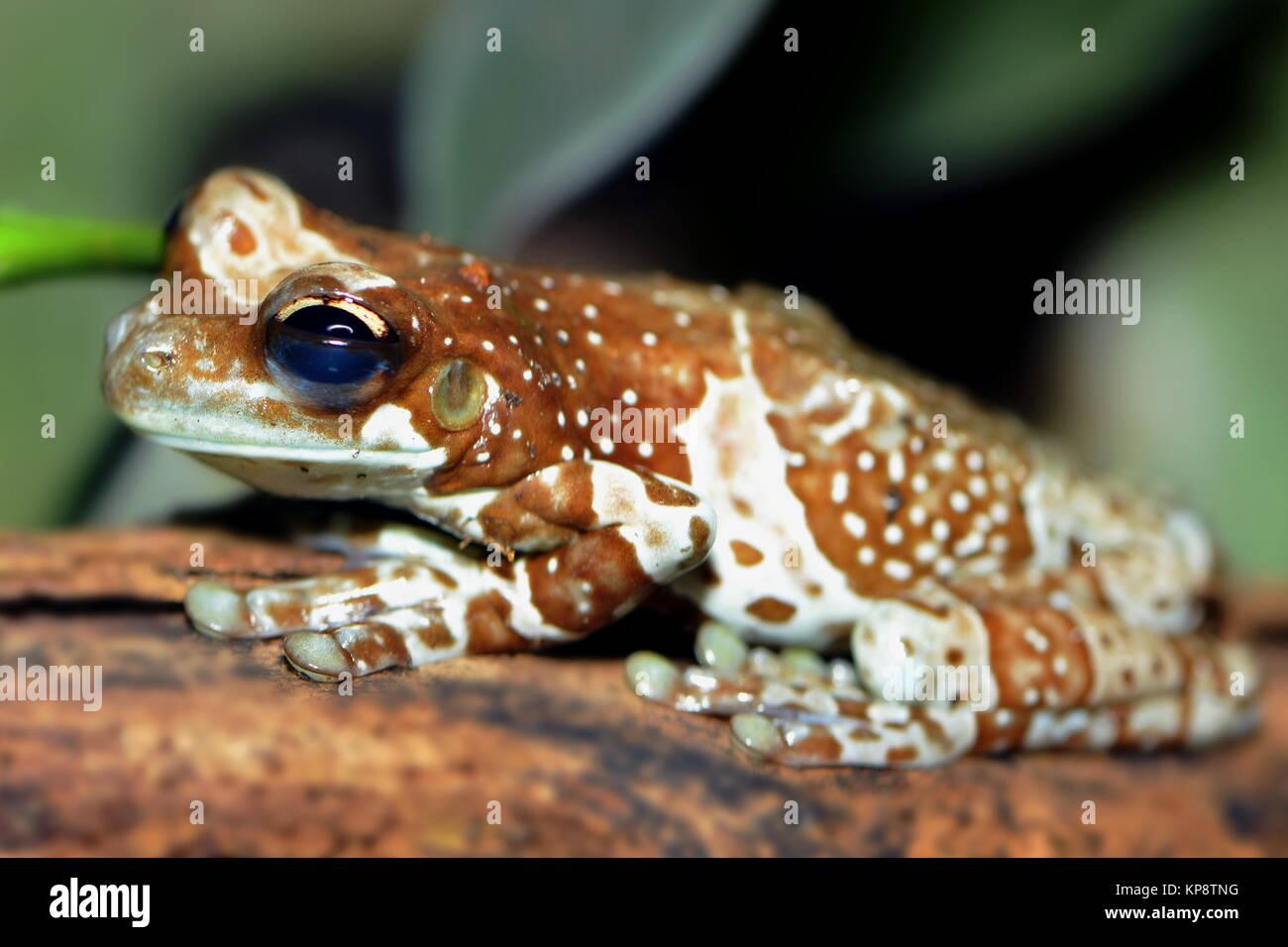 pfeilgiftfrosch - Stock Image