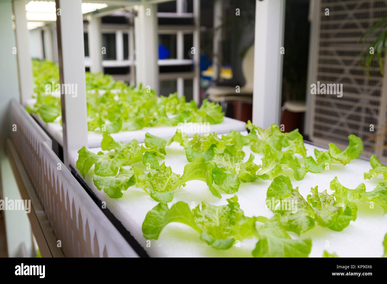 Plants cultivated in hydroponic system Stock Photo
