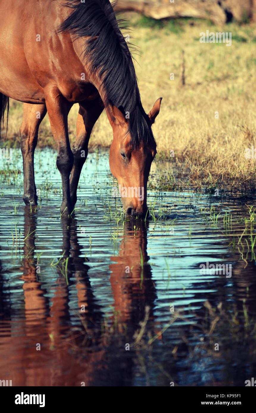 Bay coloured horse drinking from and reflected in a watering hole in country NSW, near Gooloogong, Australia - Stock Image