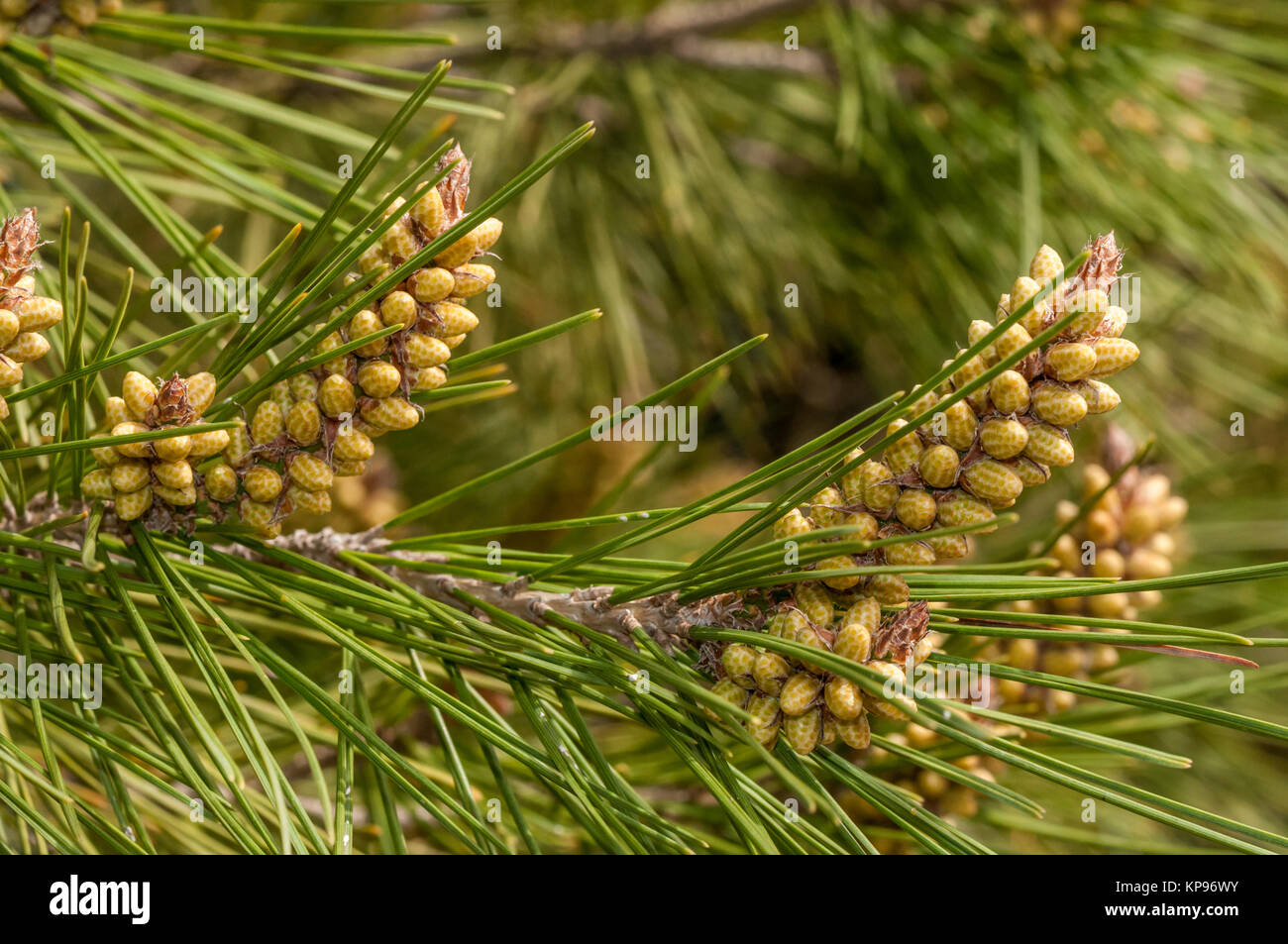 close-up view of a pine leaf, Aleppo pine, Pinus halepensis - Stock Image