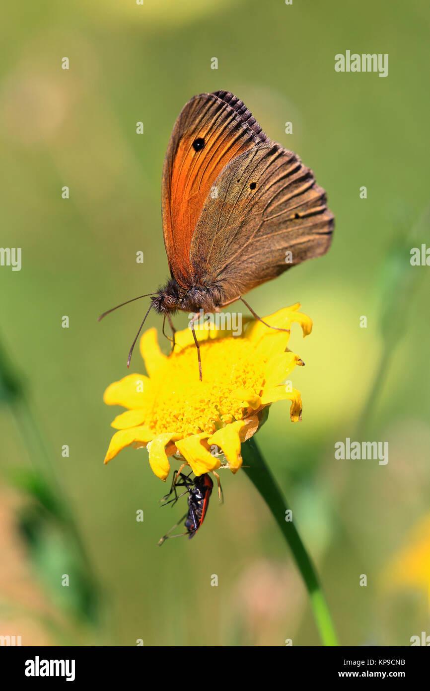 small heufalter sitting on yellow flower coenonympha hero - Stock Image