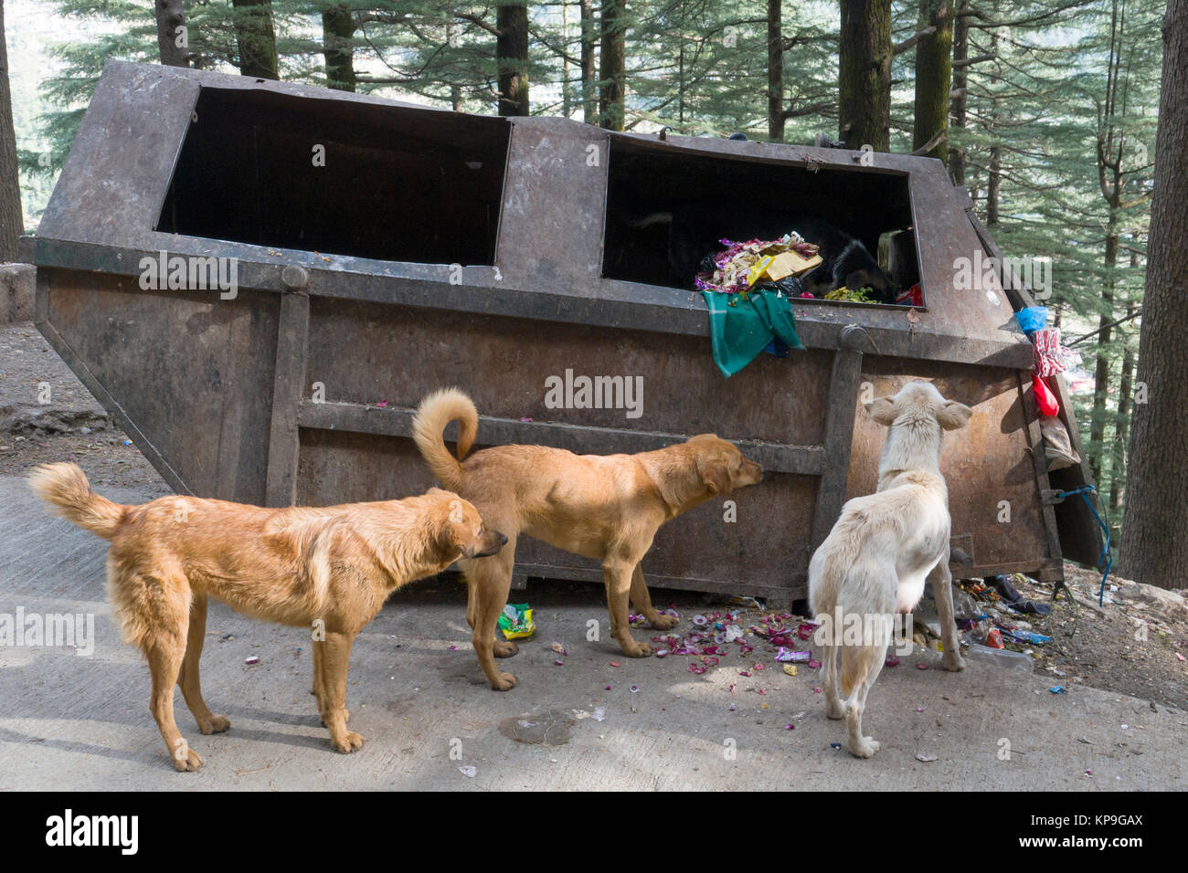 Street dogs scavenging food from dumpster in Mcleod Ganj, India - Stock Image