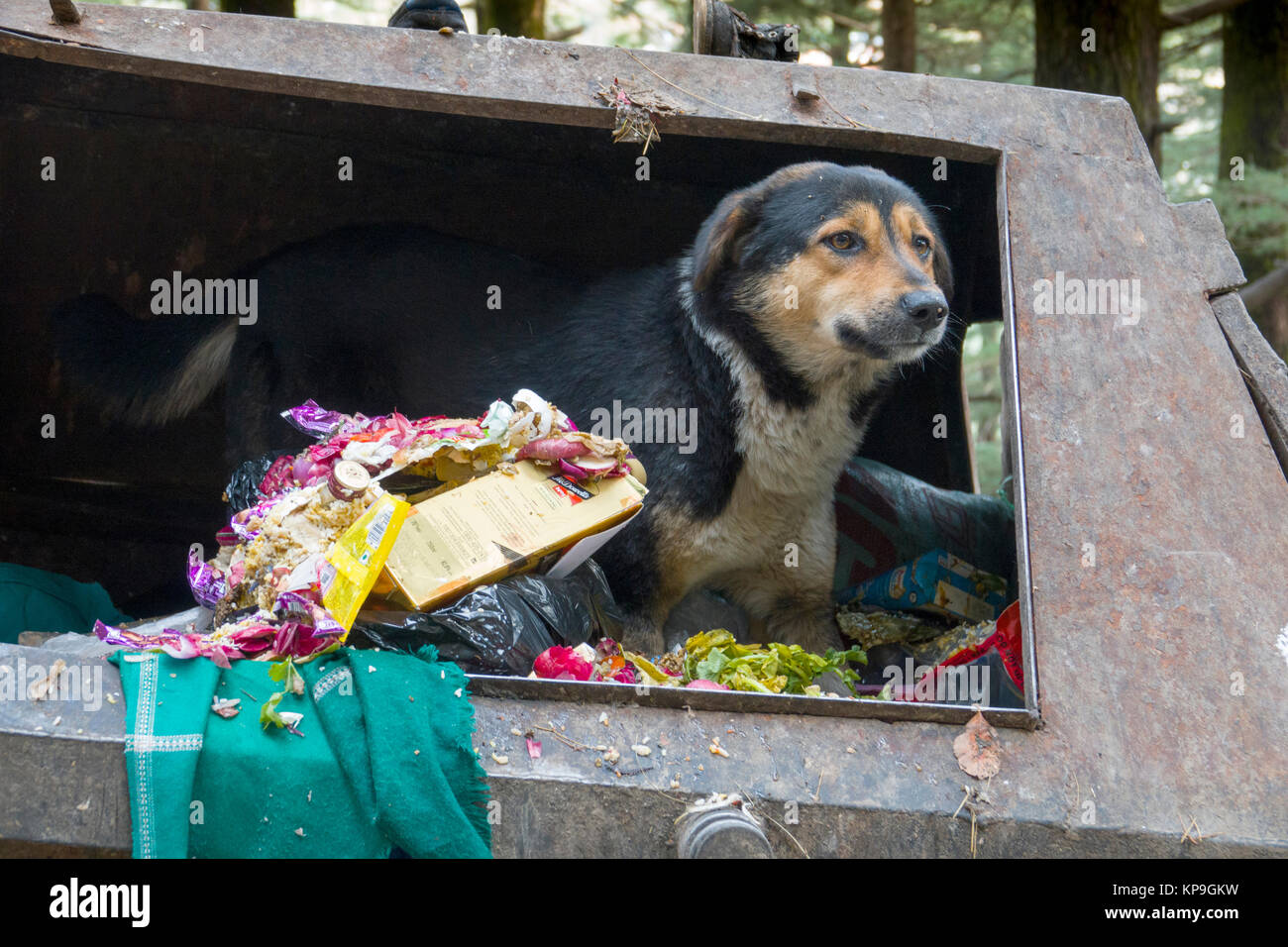 Street dog scavenging food from dumpster in Mcleod Ganj, India - Stock Image