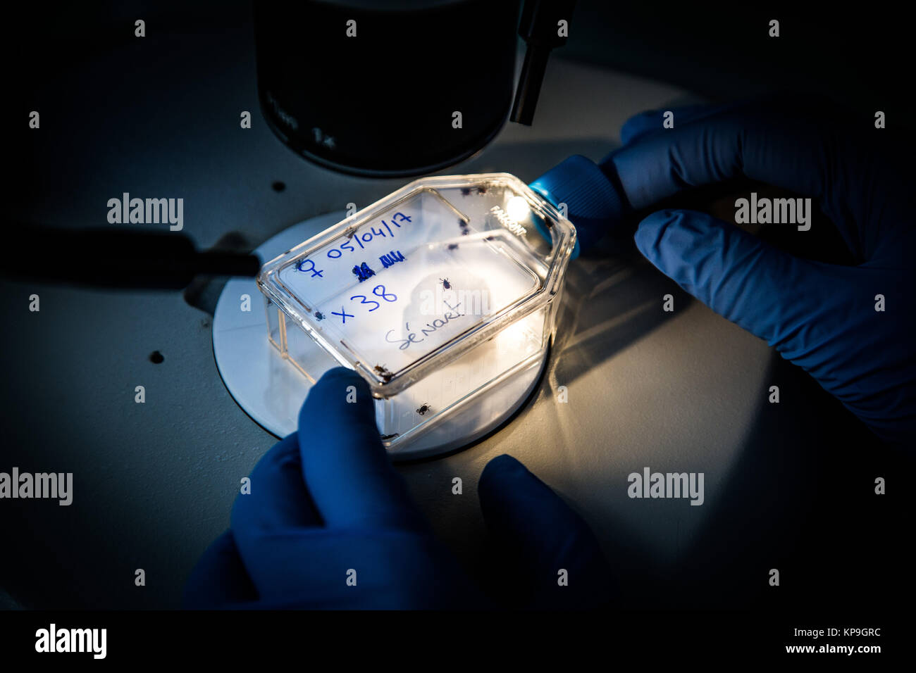 Study and analysis of ticks ( amblyomma variegatum ) by the animal health laboratory of Anses (National Agency of - Stock Image
