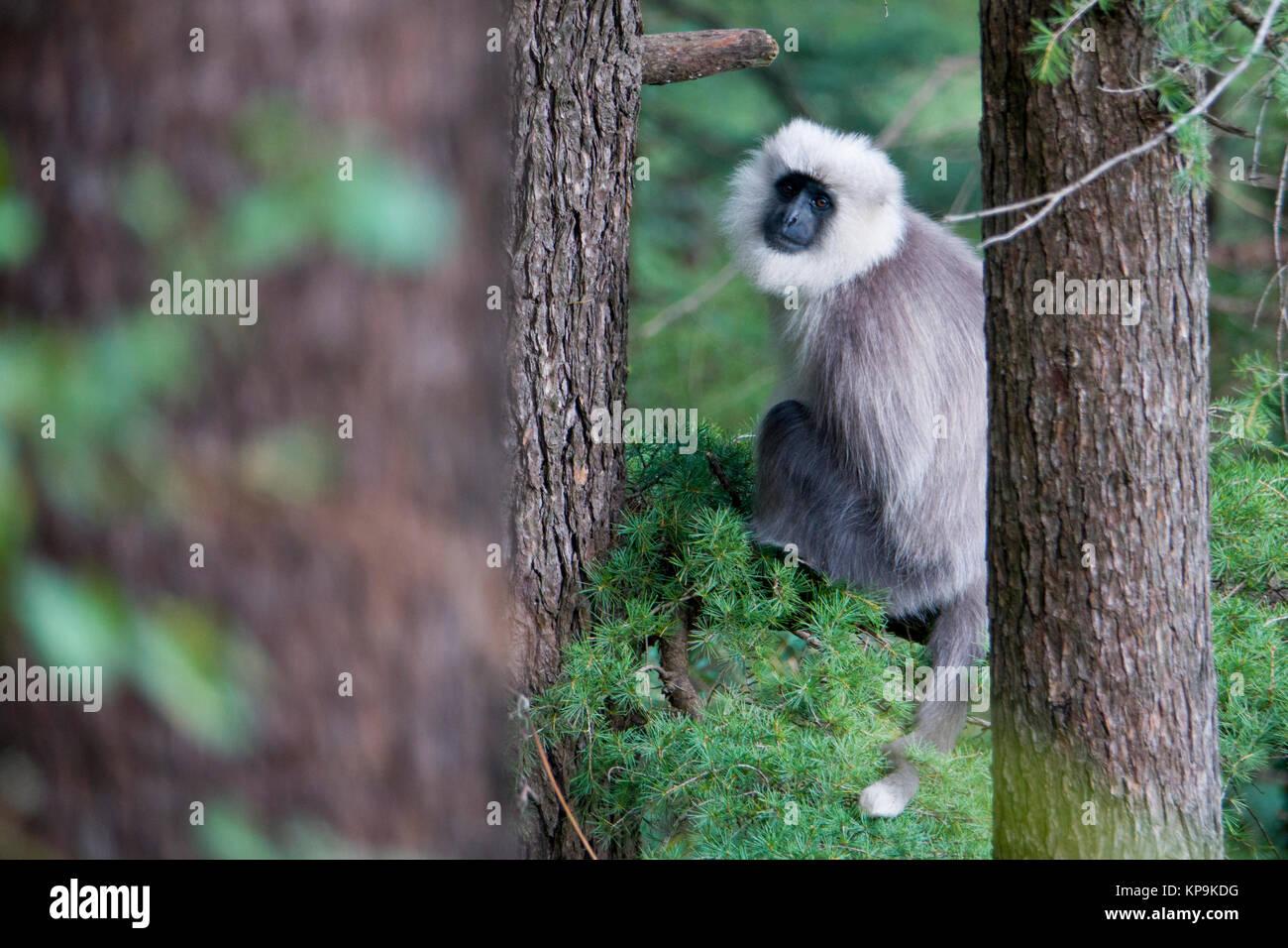 Kashmir gray langur (Semnopithecus ajax) monkey in cedar forest - Stock Image