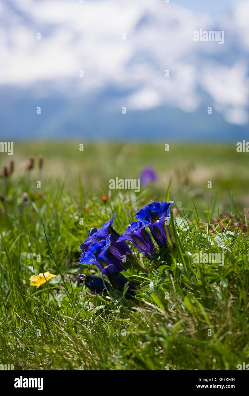 Flowering deep blue wild gentians on an alpine plateau near Maannlichen in the Bernese Oberland in Switzerland Europe - Stock Image
