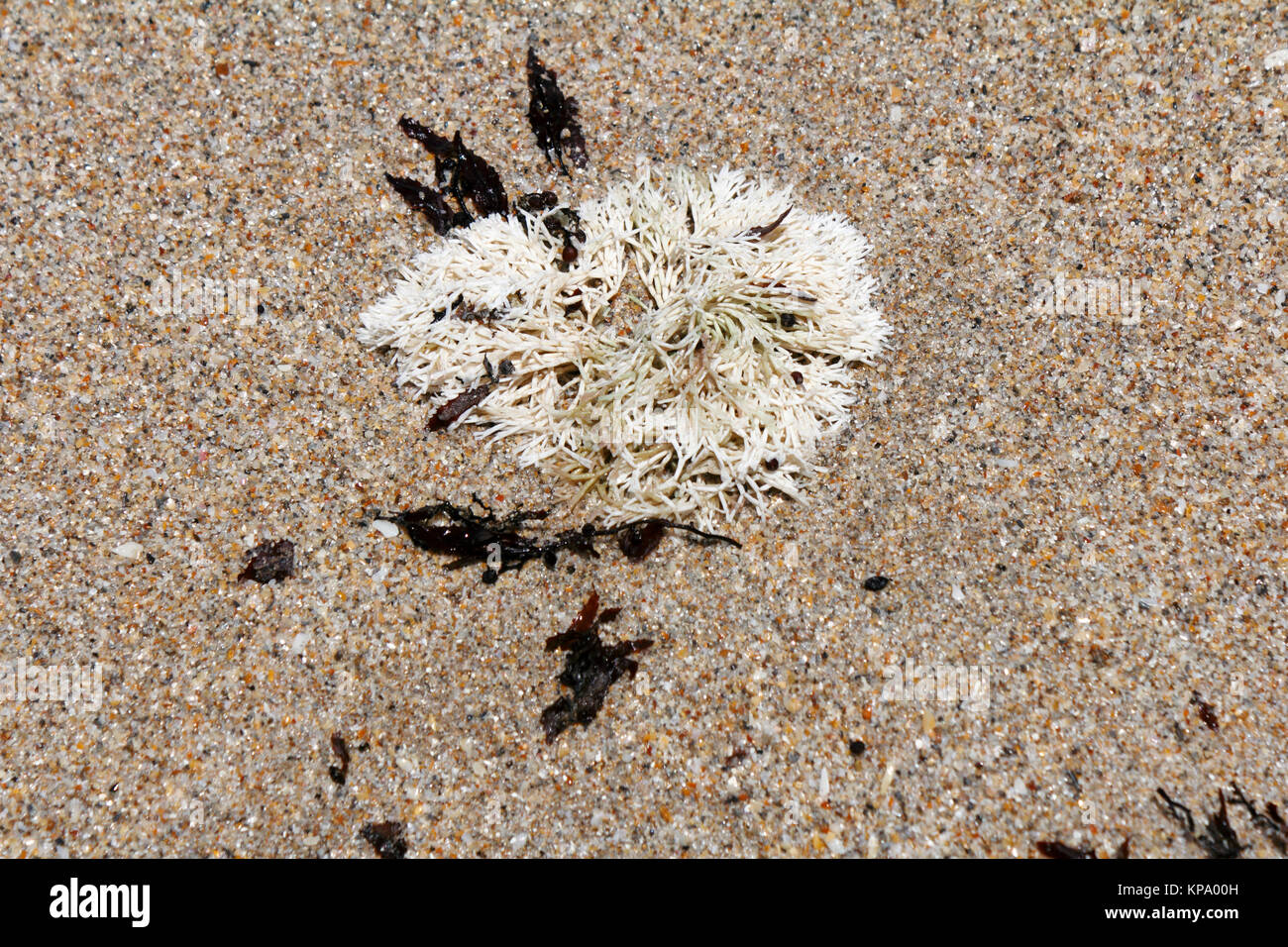 Coral Weed on a Sunny Beach - Stock Image