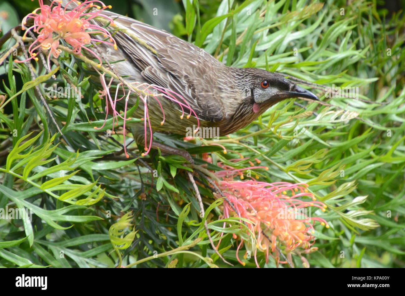 red wattlebird - Stock Image