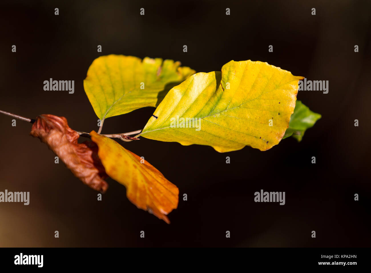 autumn colors butes foliage of beech Stock Photo