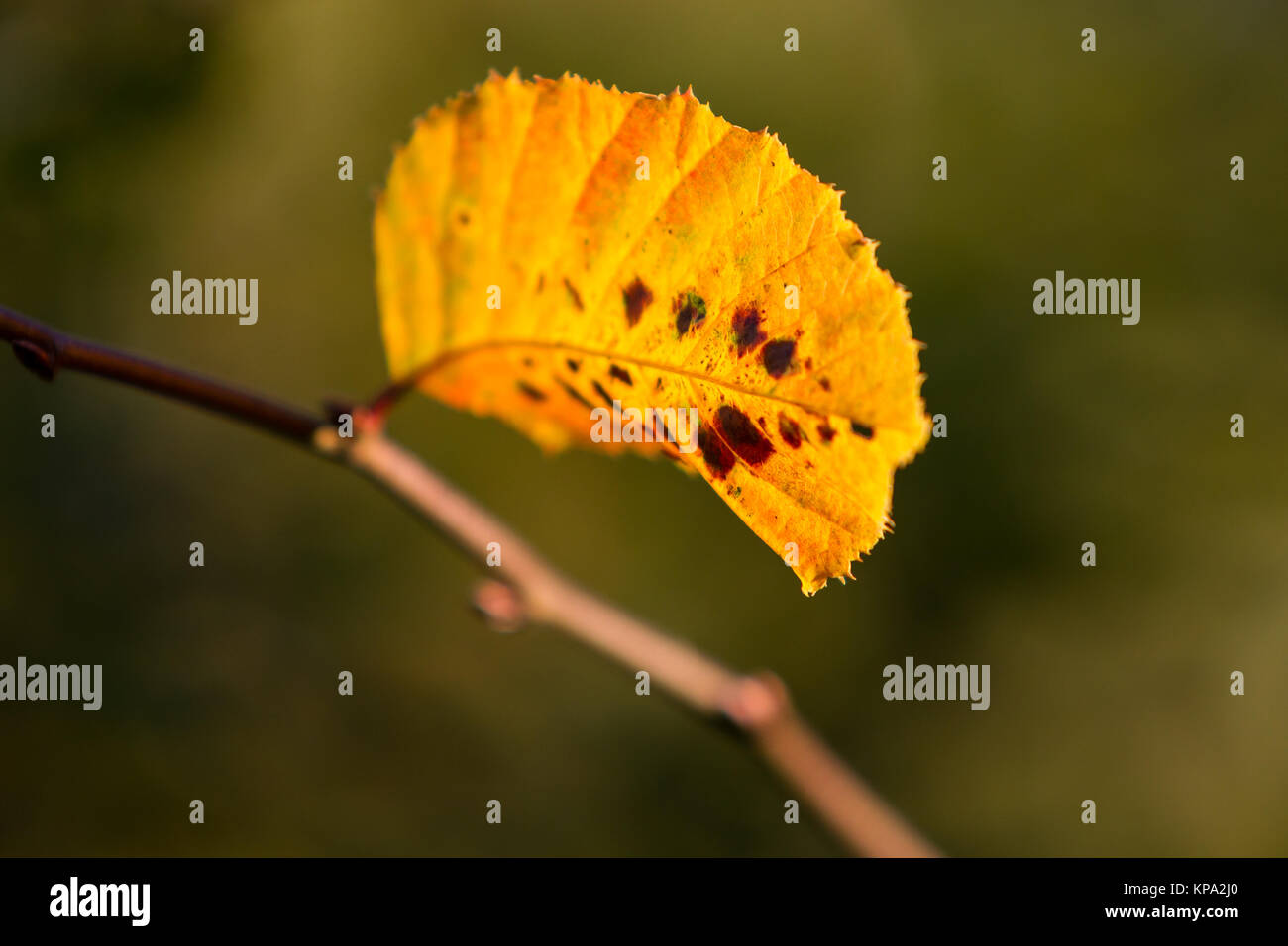 autumn colors butes foliage of beech - Stock Image