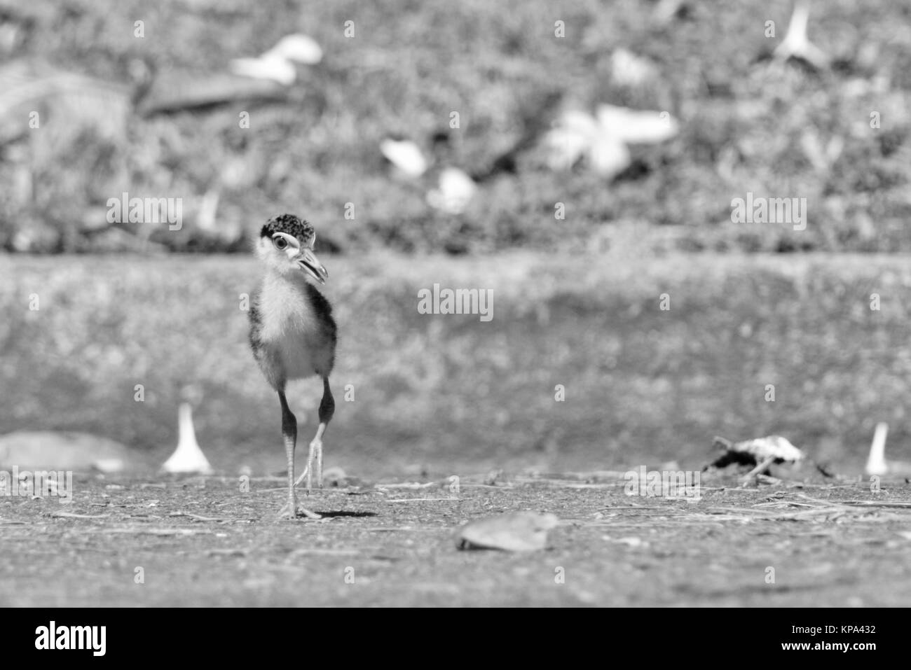Masked lapwing chick, baby, young, Vanellus miles,Townsville, Queensland, Australia - Stock Image
