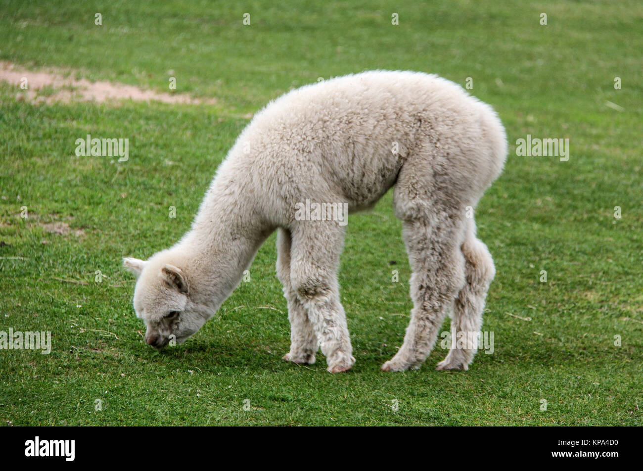 alpaca and llama with funny hairstyle - Stock Image