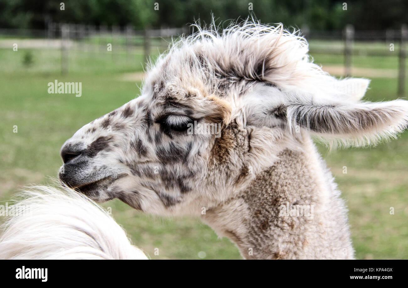 alpaca llama with funny hairstyle zoo Latvia - Stock Image