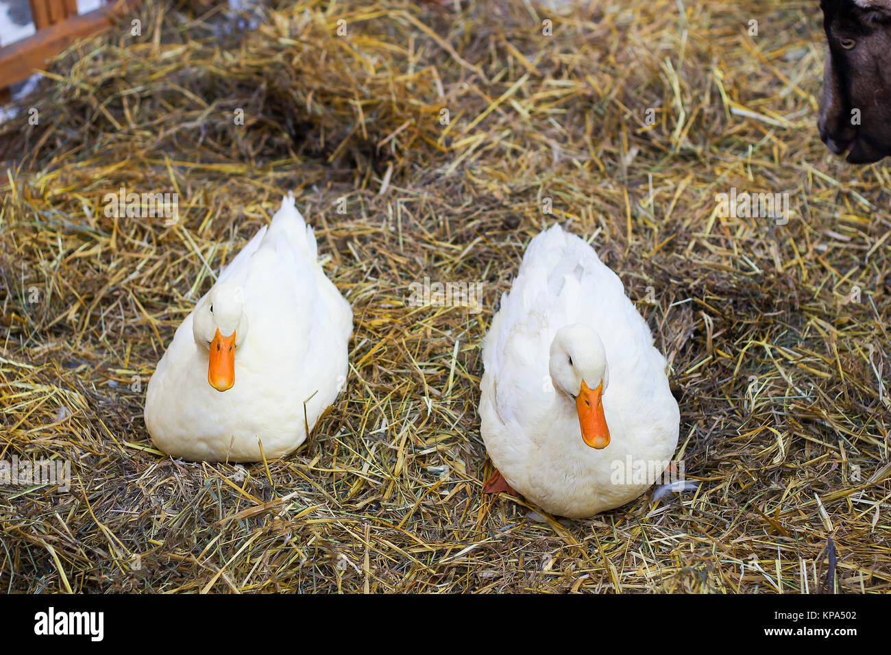Pair of white ducks sitting on hay. Pair of Pekin duck - Stock Image