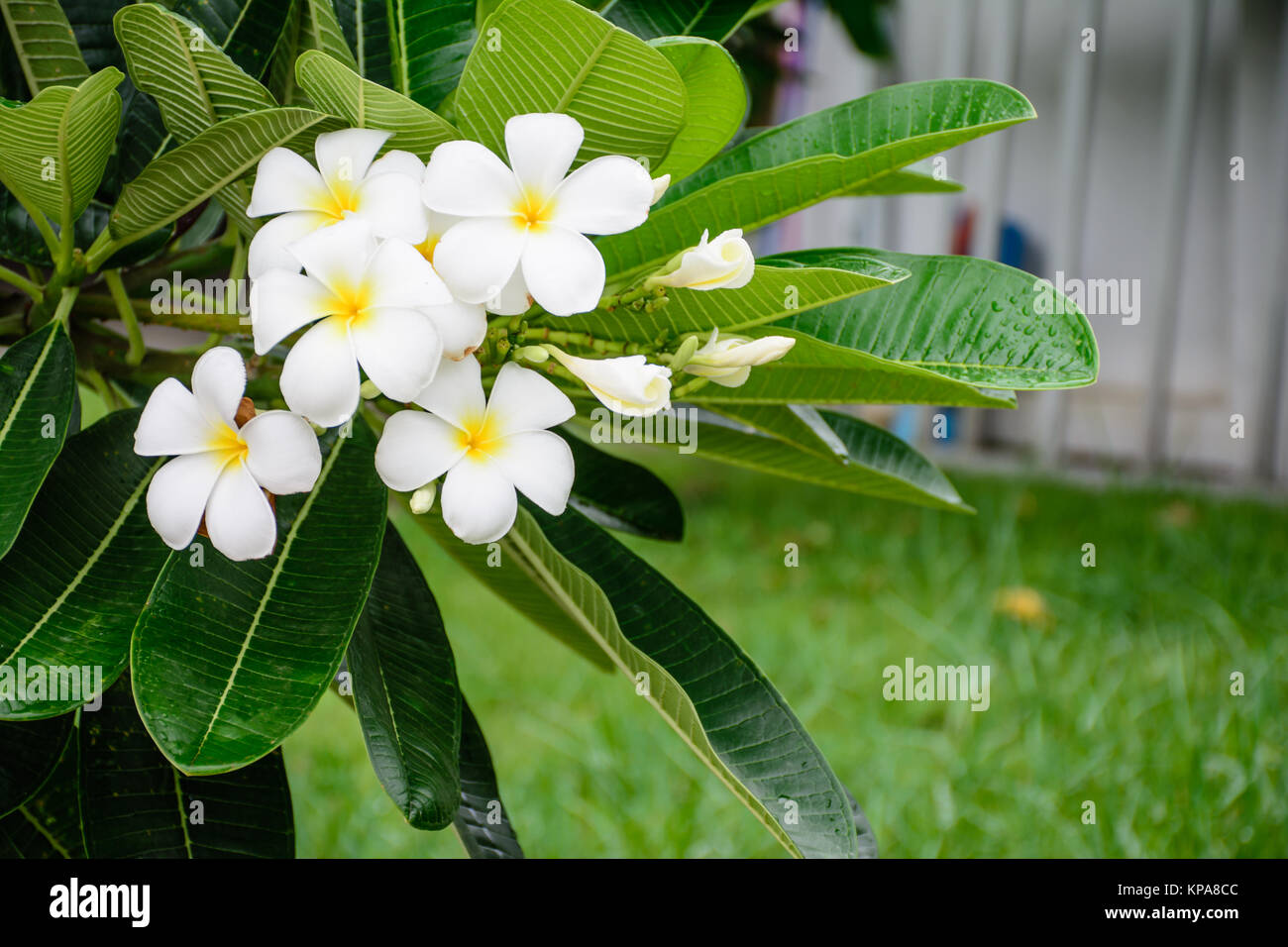 white champa whit green leaf - Stock Image