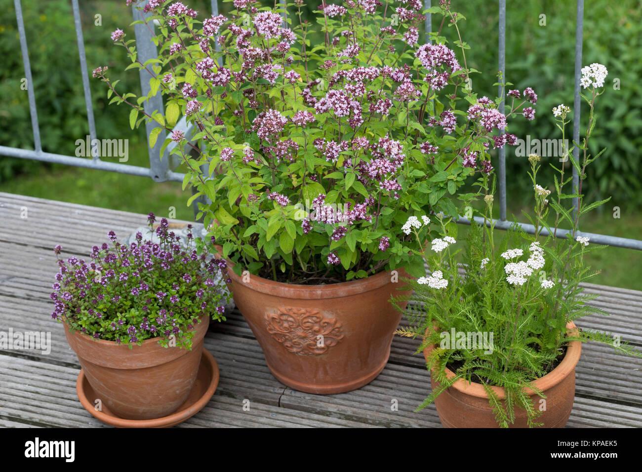 Wildkräuter in Töpfen, Topf, Blumentopf, Oregano, Schafgarbe, Thymian in Blumentöpfen auf einem Balkon, - Stock Image