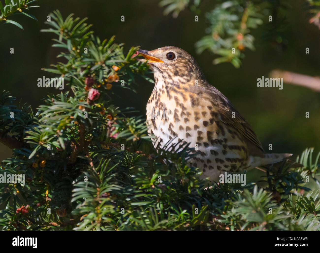 Adult Song Thrush (Turdus philomelos) perched in a tree feeding off fruiit in Winter, in West Sussex, England, UK. - Stock Image