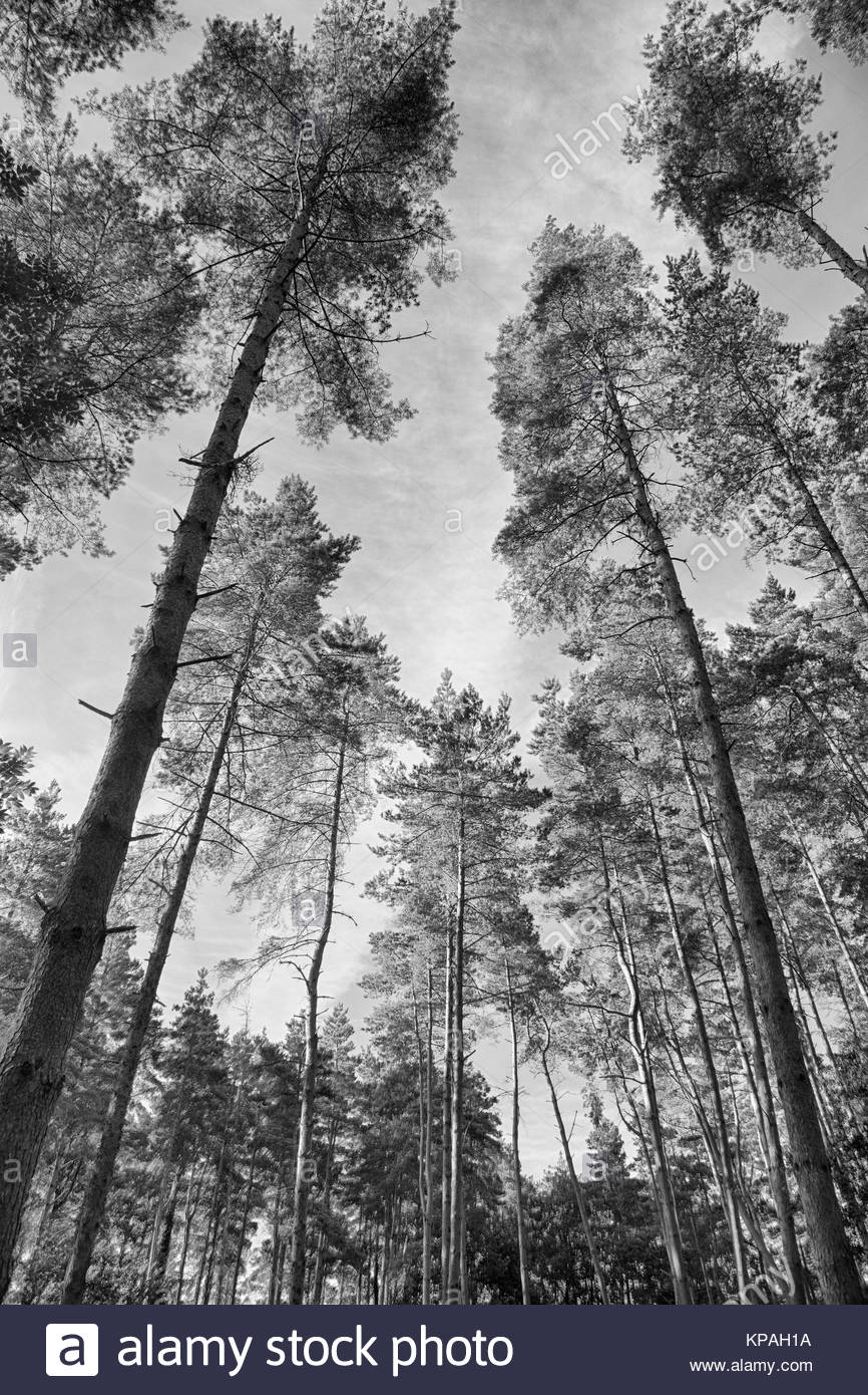 Looking skyward through the pine trees in the Forest of Dean - Stock Image