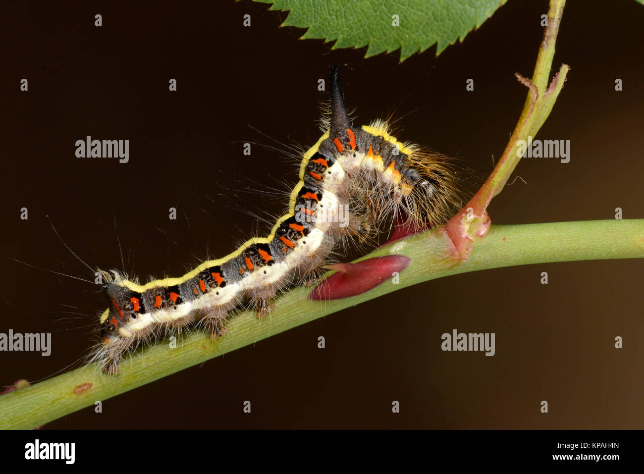 Grey Dagger Moth (Acronicta psi) final instar fully grown caterpillar, Monmouth, Wales, September - Stock Image
