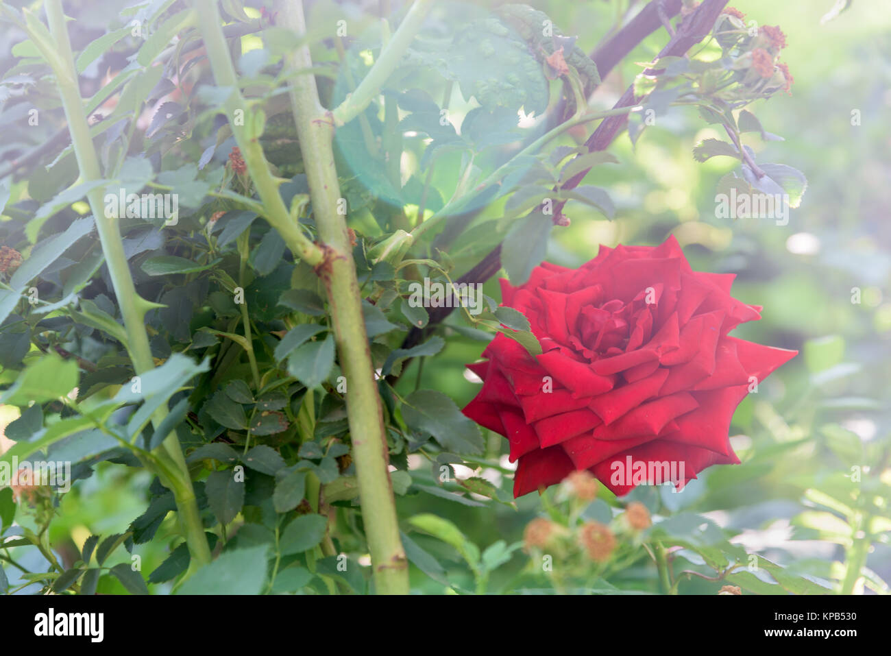 Red rose with sunlight close up - Stock Image