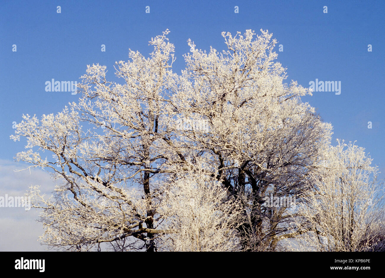 FROSTWORK in tree against winter sky 2016 - Stock Image