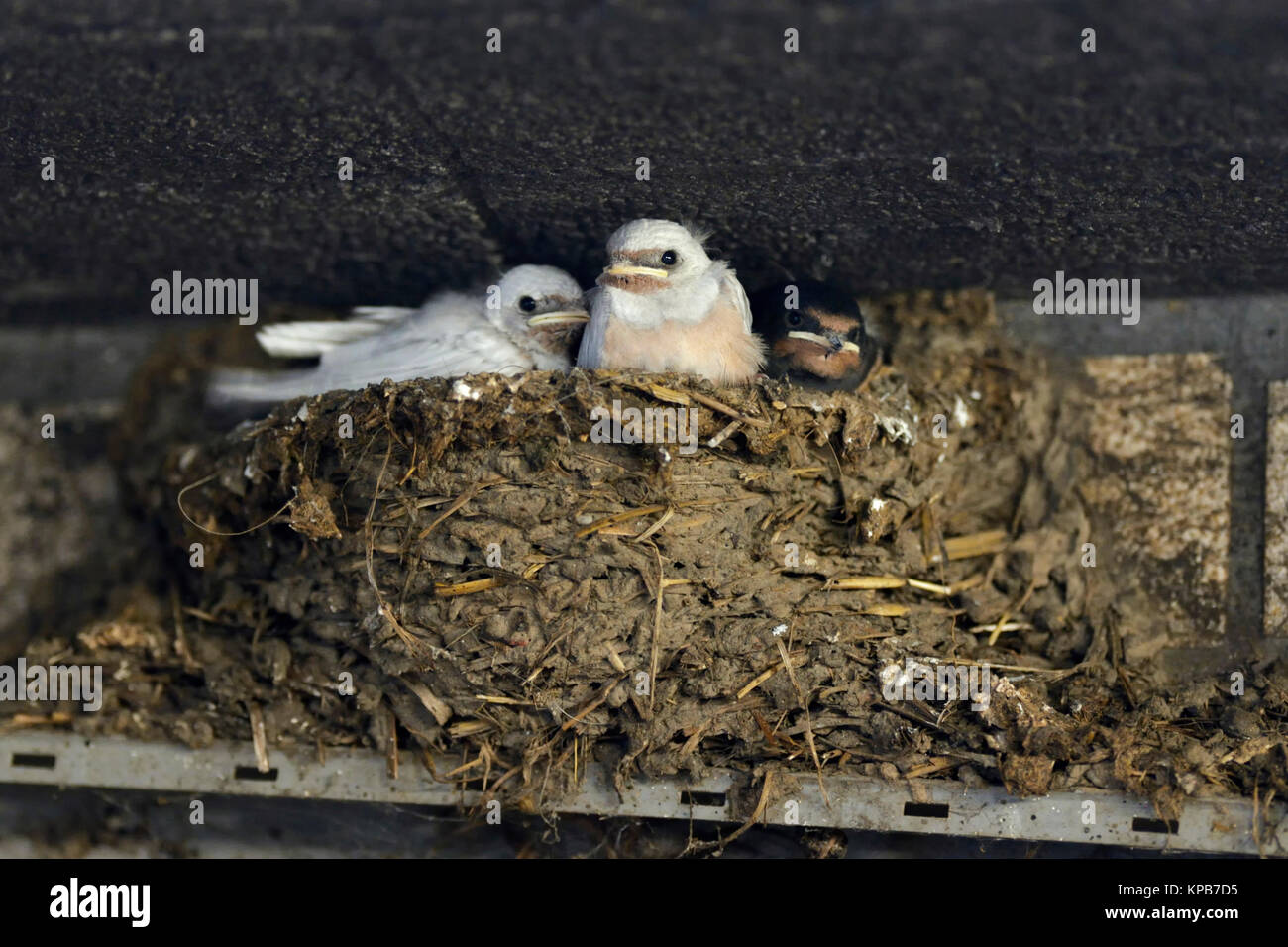 Barn Swallows / Rauchschwalben ( Hirundo rustica ), chicks in nest, two of them with a rare gene defect, white plumage, - Stock Image