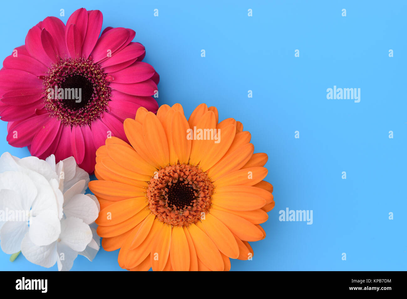 Colorful daisy gerbera flowers and white hortensia flower on stock colorful daisy gerbera flowers and white hortensia flower on turquoise blue background mightylinksfo