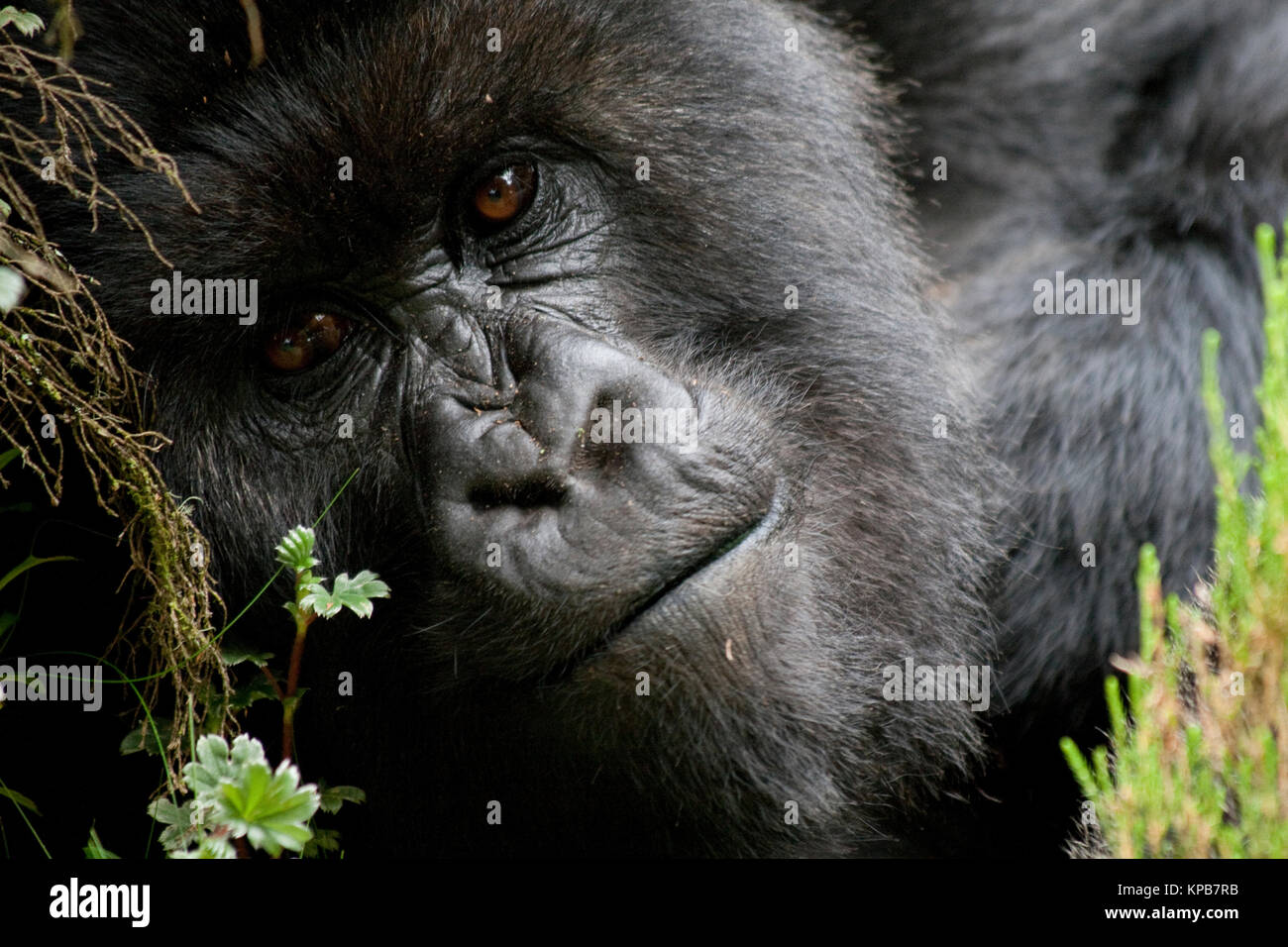 Close up portrait of a mountain gorilla in Rwanda - Stock Image