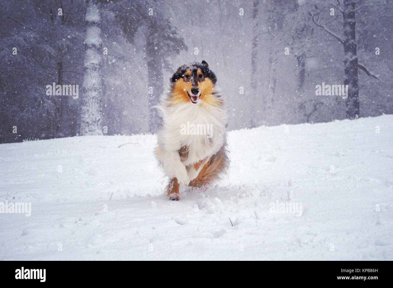 Blue merle rough collie dog running through the snow at Leith Hill, Dorking, December 2017. Snow-covered pine woodland - Stock Image