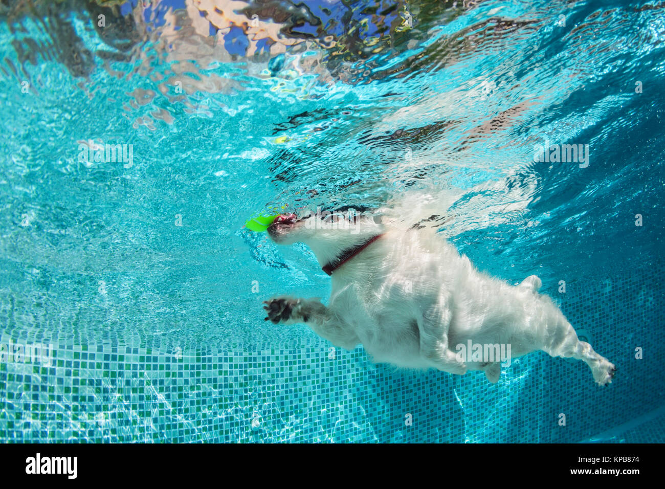 Playful jack russell terrier puppy in swimming pool has fun. Dog jump, dive underwater to fetch ball. Training classes, Stock Photo