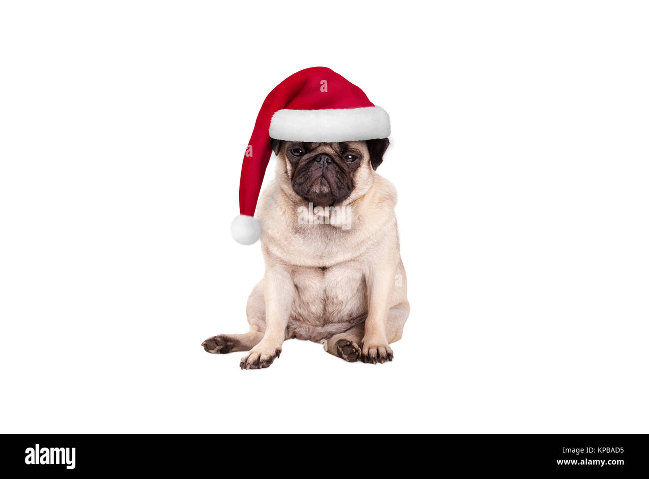 cute pug puppy dog with santa hat for Christmas, sitting down, looking grumpy, isolated on white background - Stock Image