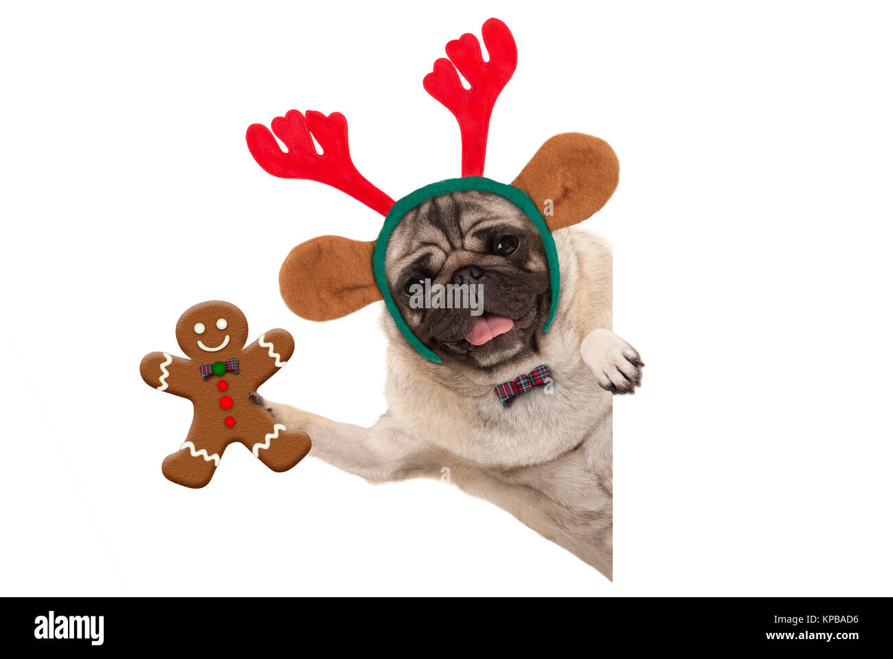 smiling Christmas pug dog holding up gingerbread man and wearing reindeer antlers headband, with paw on white banner, - Stock Image