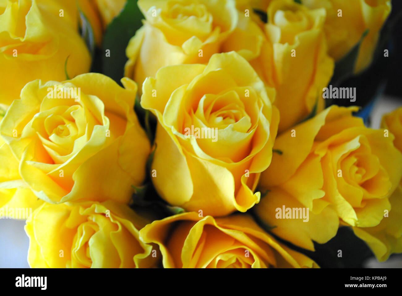 yellow roses - Stock Image